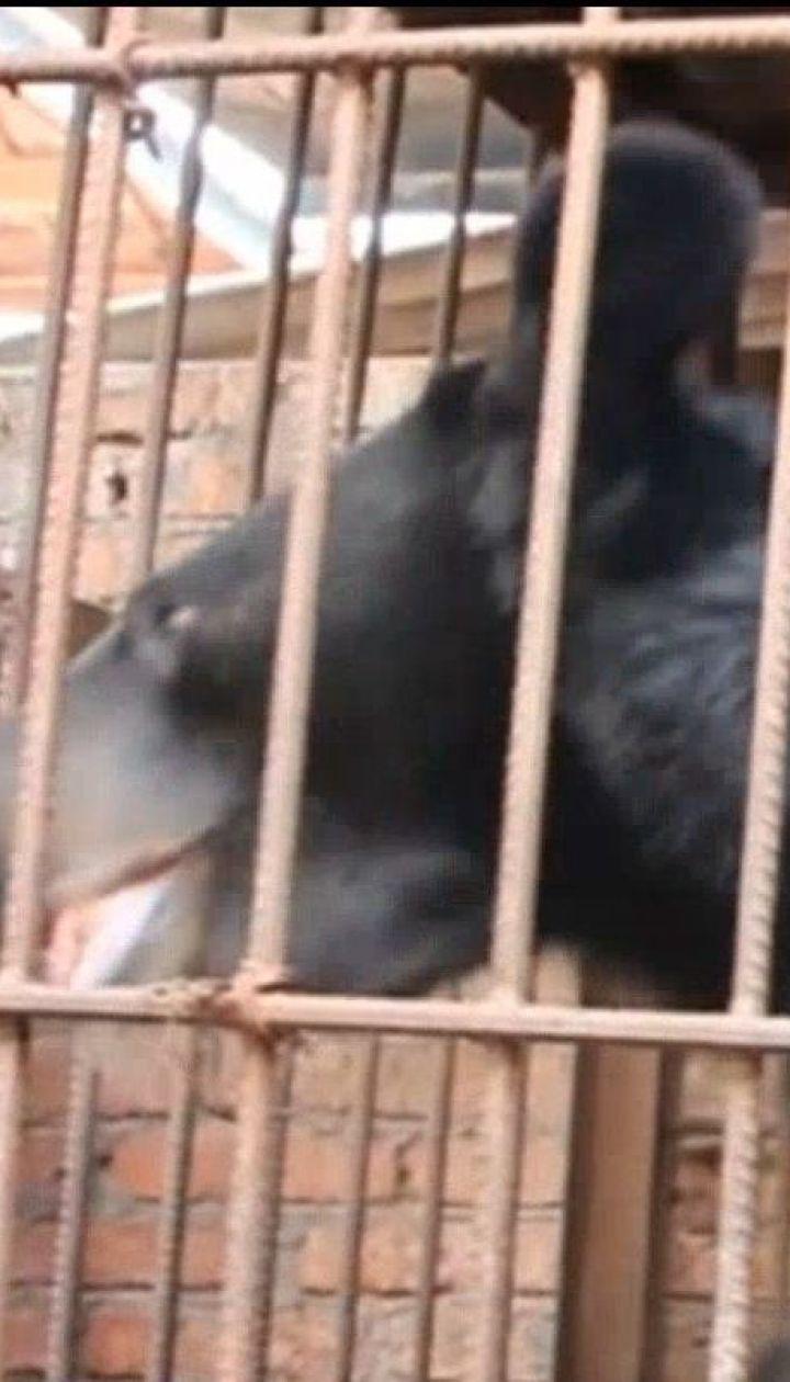 В Китае пенсионерка шесть лет держала у себя дома гималайского медведя