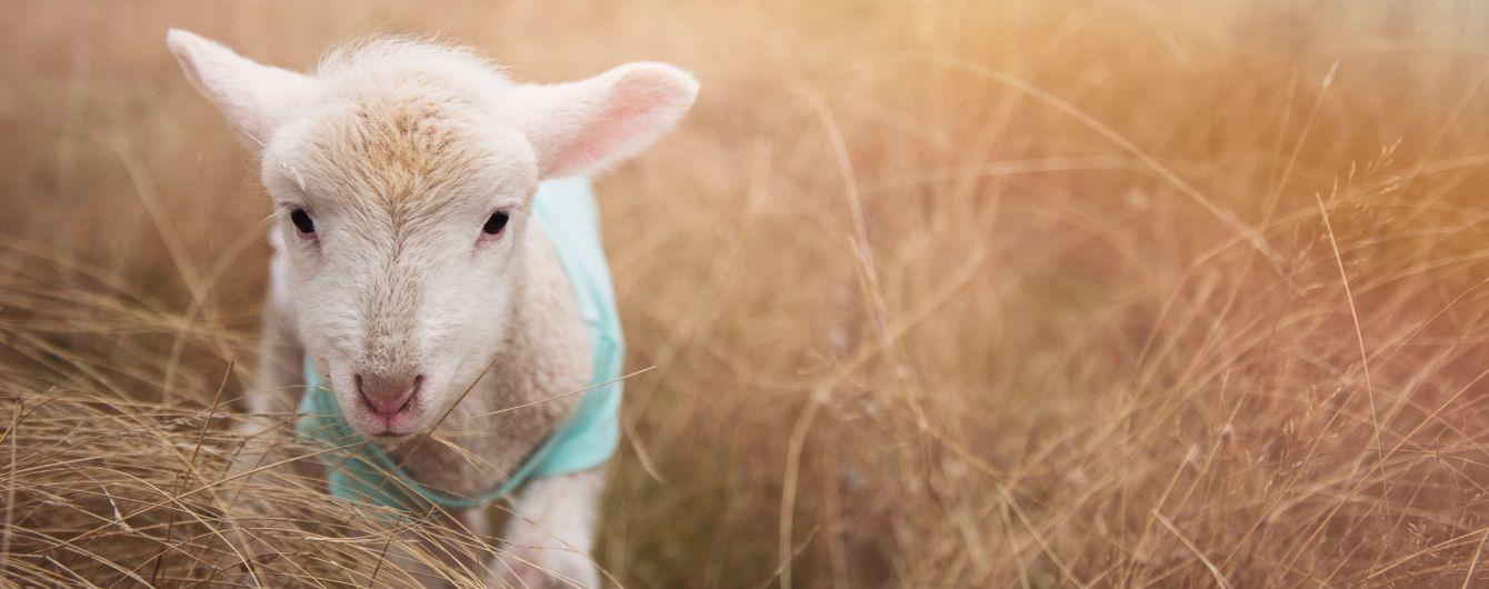 """Отару овець, які пережили """"фуру смерті"""", відправлять на екоферму Одещини"""