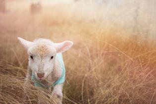 """Отару овец, которые пережили """"фуру смерти"""", отправят на экоферму Одесской области"""