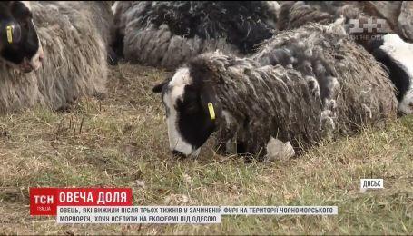 Овець, які вижили у зачиненій фурі, оселять на екофермі під Одесою