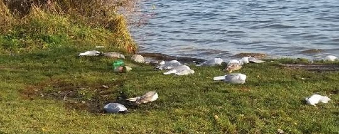 У Тернополі на березі озера знайшли майже 200 мертвих птахів. Вони, ймовірно, отруїлися