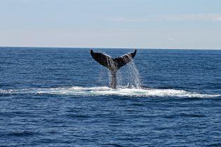 К удивлению ученых после почти полного уничтожения популяции китов удалось восстановиться