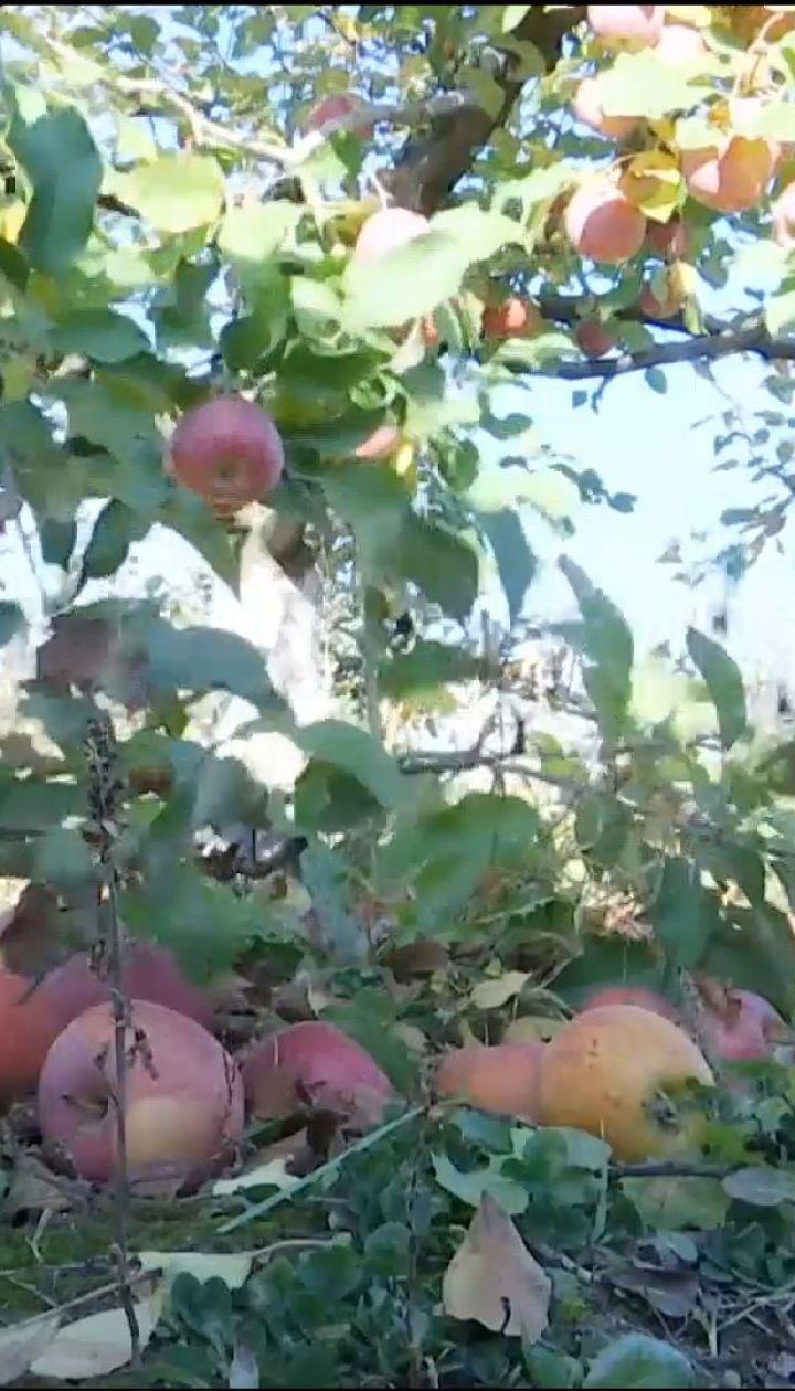 Щедрый урожай: тонны украинских яблок остались гнить за ненадобностью