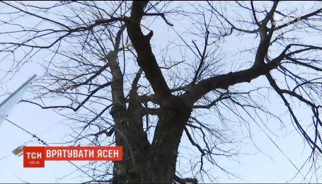 На Подоле киевляне защищают ясень от коммунальщиков