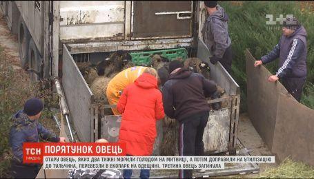 Отару овец, которую планировали утилизировать, перевезли в экопарк в Одесской области