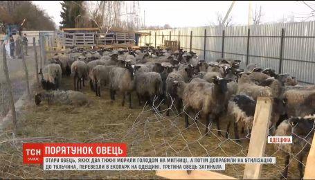 Диета и боксы: в эко-комплексе рассказали об условиях содержания овец, которых морили голодом на границе