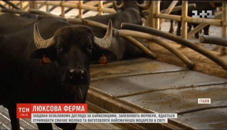 В Італії знайшли новий підхід для відгодовування буйволів