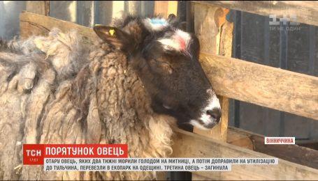 За многострадальными черноморскими овцами взялись ухаживать за экоцентре в Одесской области