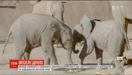 Молодые слонята в зоопарке Сан-Диего развлекают посетителей своей игрой