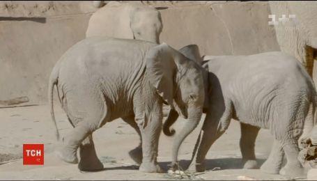 У Мережі показали відео, як в американському зоопарку граються маленькі слоненята