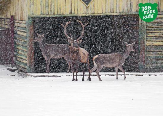 У Київському зоопарку показали, як перший сніг зустріли місцеві тварини