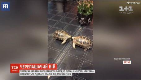 У Мережі набирає популярність відео, на якому черепаха бореться із власним віддзеркаленням