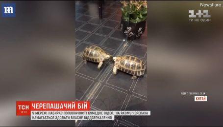 Черепачаший бій: Мережу підкорило відео, на якому черепаха намагається здолати власне віддзеркалення