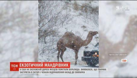 В Пенсильвании на дороге местные заметили верблюда