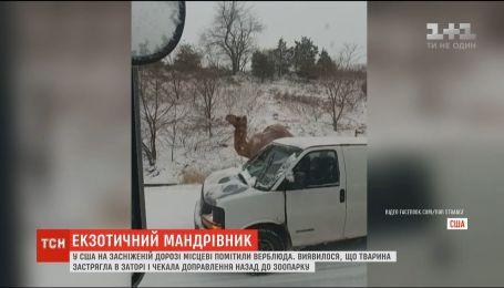 У США на засніженій дорозі місцеві помітили верблюда