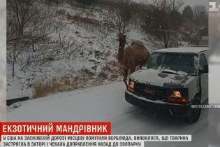 У США на засніжений дорозі помітили верблюда