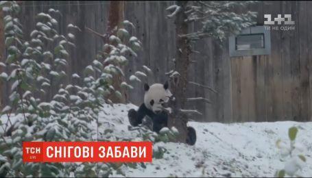 Снігові забави. У вашингтонському зоопарку зафільмували, як панда зустрічає перший сніг