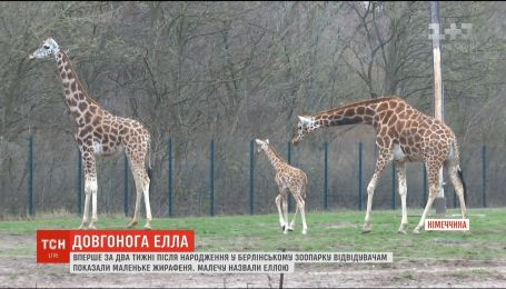 В Берлине показали новорожденного жирафа
