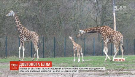 Длинноногая Элла. В Берлине показали новорожденного жирафа