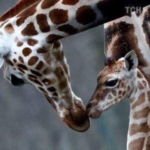 Длинноногая и все время движется: в Берлине показали новорожденного жирафенка