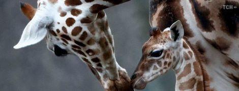 Довгонога і увесь час рухається: у Берліні показали новонароджене жирафеня