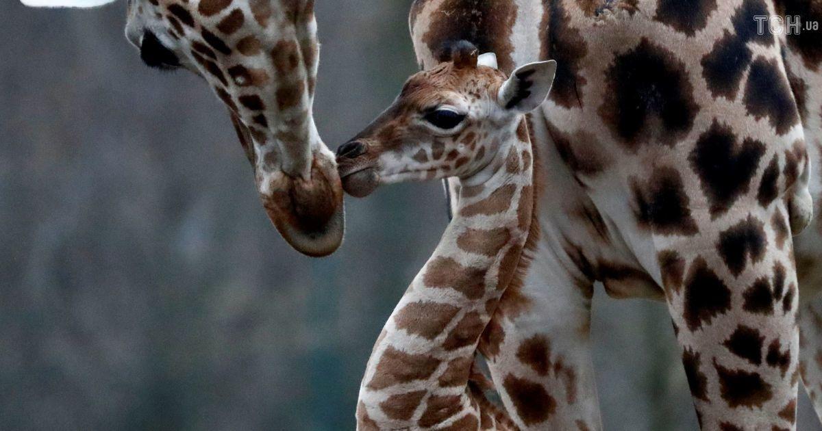 Довгоноге і увесь час рухається: у Берліні показали новонароджене жирафеня