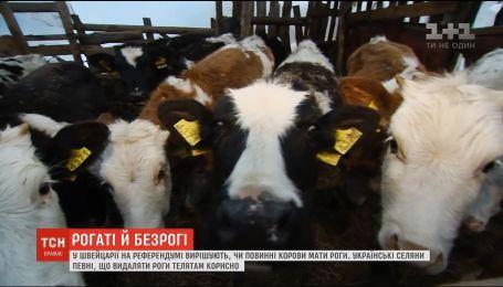 Нужны ли коровам рога: мнения украинских селян