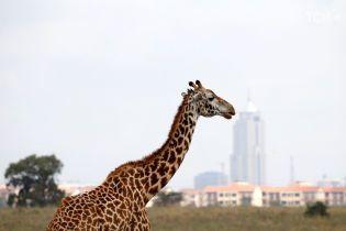Контрастное зрелище. В Кении показали, как сосуществуют дикие животные и мегаполис
