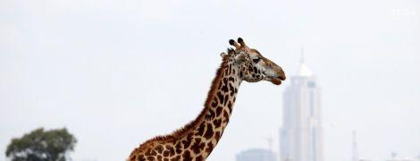 Контрастне видовище. У Кенії показали, як співіснують дикі тварини і мегаполіс
