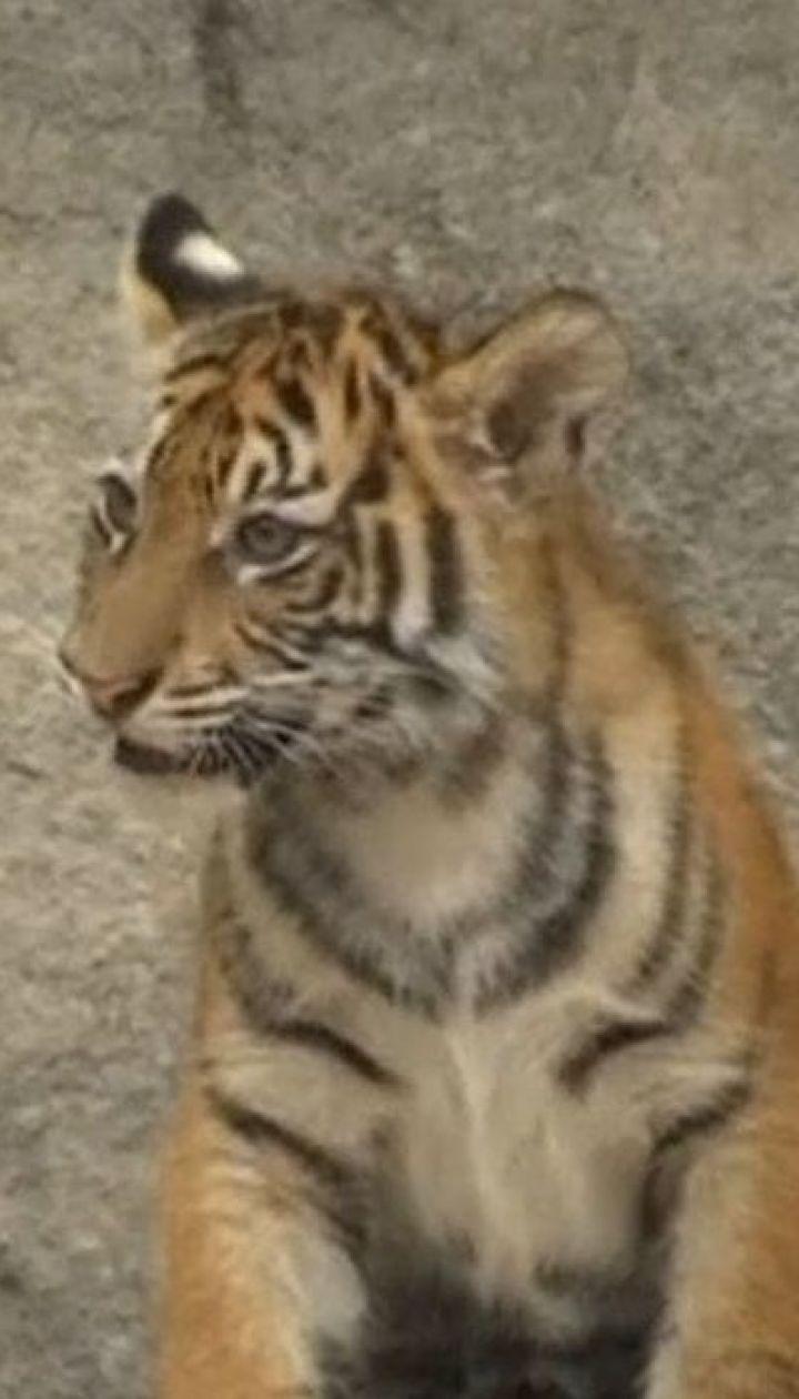 Рідкісні суматранські тигренята народилися у зоопарку Берліна