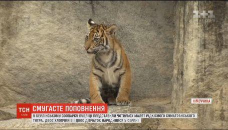 Редкие суматранские тигрята родились в зоопарке Берлина