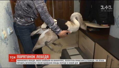Чтобы спасти раненого лебедя, ветврачам пришлось отрезать одно крыло