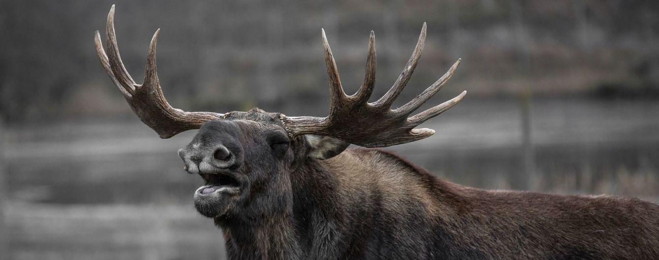 Суд вычеркнул лося из Красной книги Украины – теперь на него можно охотиться