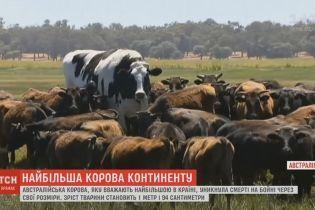 Австралийский фермер сжалился над самой большой коровой страны