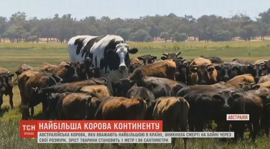 Австралійський фермер змилувався над найбільшою коровою країни