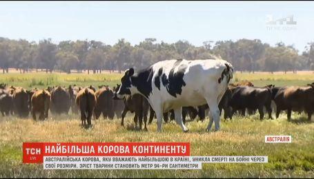 Австралійська корова, яку вважають найбільшою в країні, уникла смерті на бійні через свої розміри