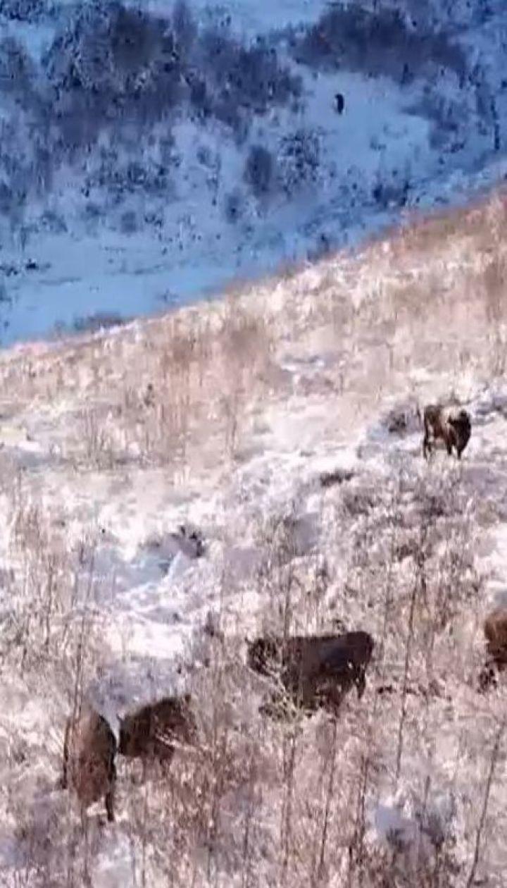 На Буковині взялися рятувати від вимирання червонокнижного зубра