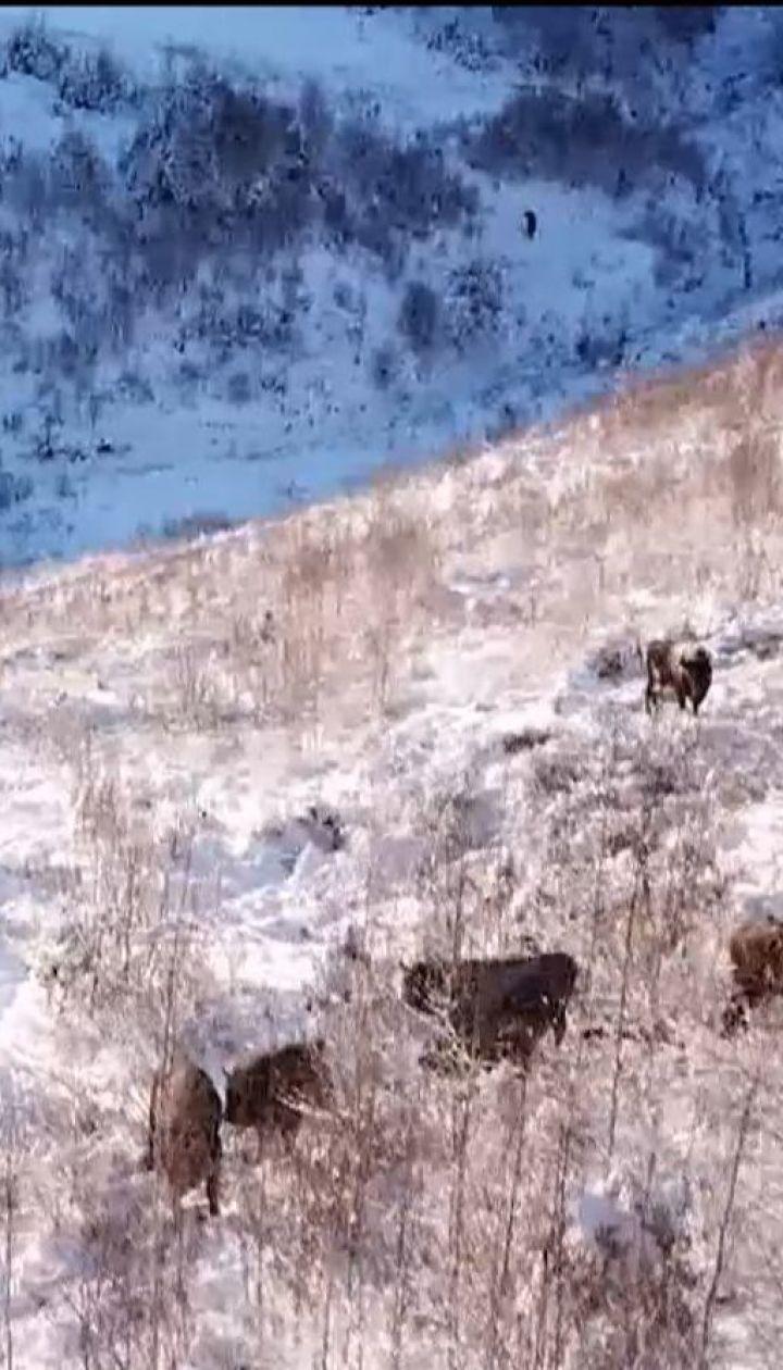 На Буковине взялись спасать от вымирания краснокнижного зубра