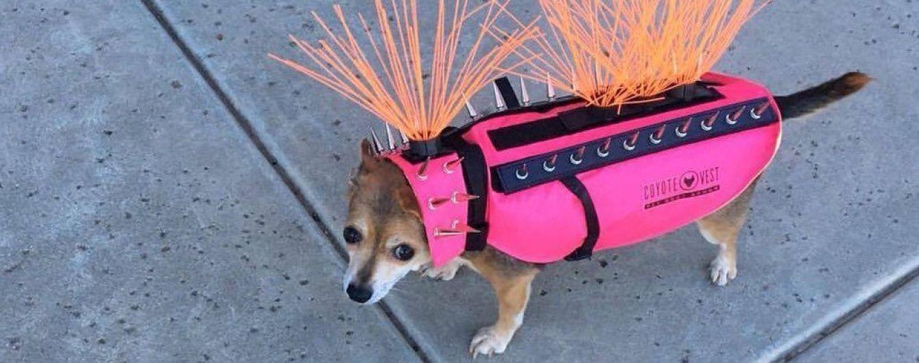 Собаки-рокери: американським песикам вдягають захисні жилети з шипами проти койотів
