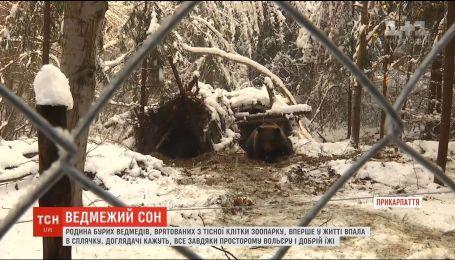 Семья бурых медведей, которых спасли из тесной клетки зоопарка, впервые впала в зимнюю спячку