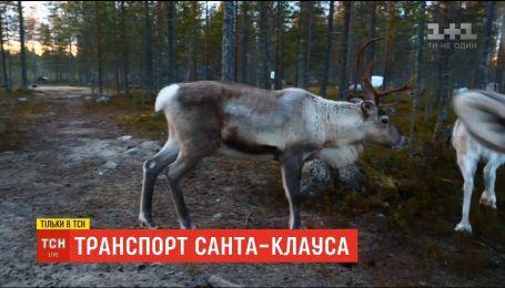 Дорога к Санте: как в Лапландии живут сказочные животные