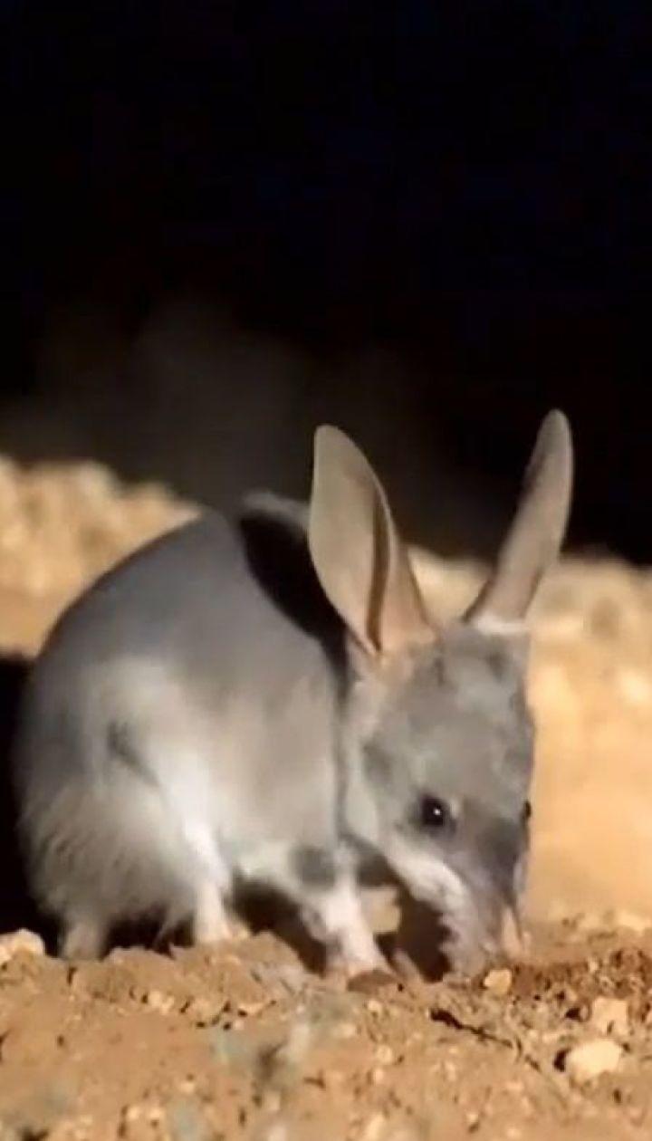 В Австралії у дику природу випустили сумчастих борсуків, які перебувають на межі вимирання