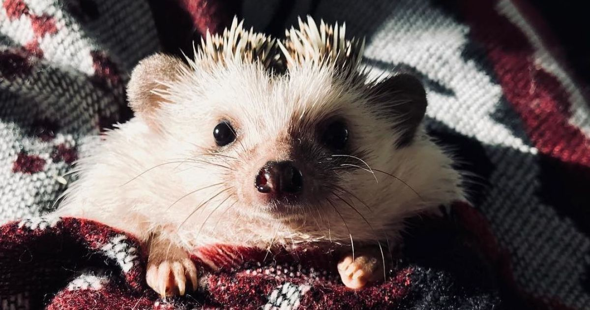 Львовский еж Рик @ instagram.com/rick_the_hedgehog