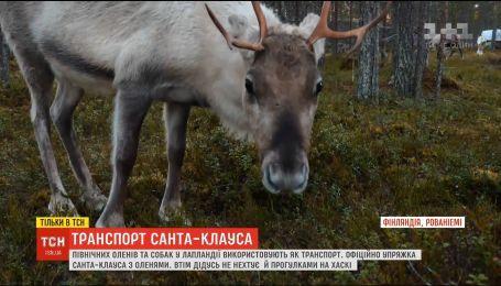 Становятся транспортом и едой. Как живут северные олени в Лапландии