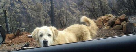 Зворушлива історія: після нищівних пожеж у Каліфорнії собака місяць чекав на хазяйку у зруйнованому будинку