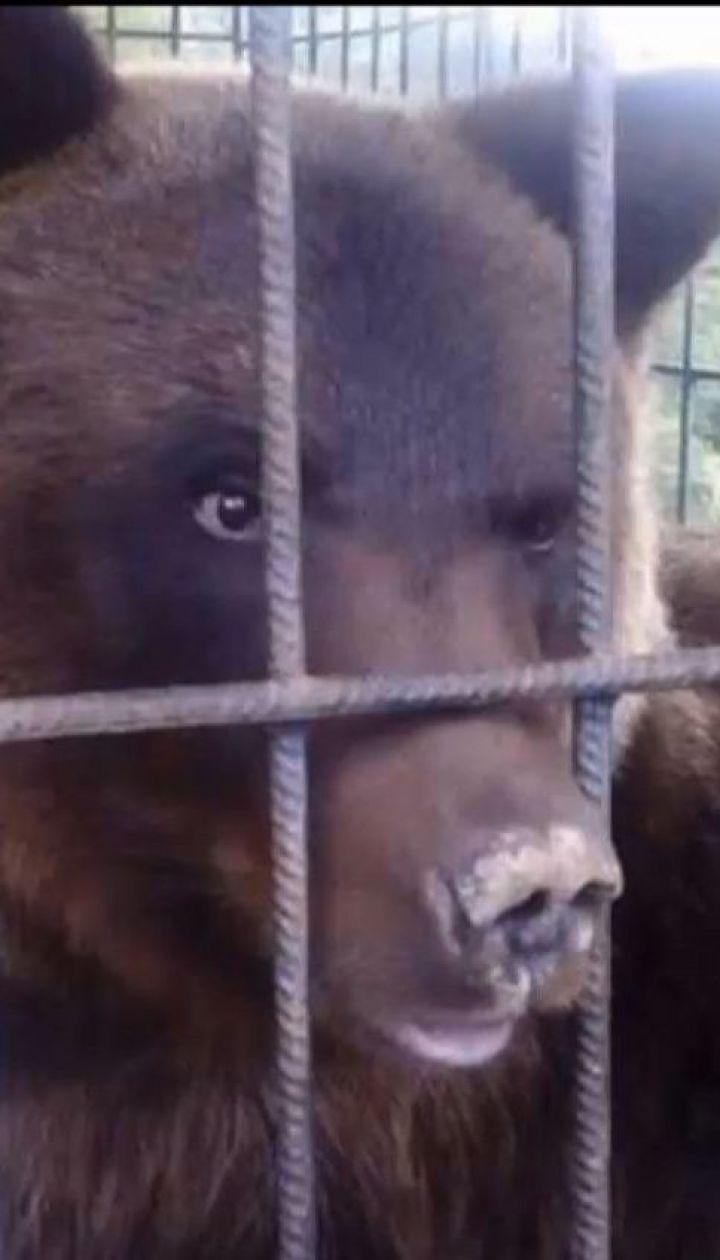 На базе отдыха в Карпатах бурый медведь разодрал женщине руку и поломал кости