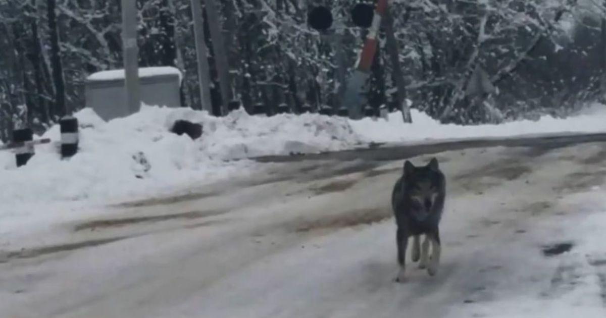 На Тернопільщині селом гуляв вовк і стрибав на перехожих