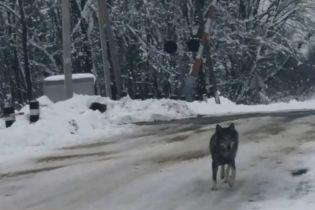 На Винниччине волки-мутанты держат в ужасе несколько сел