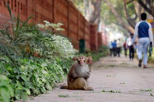 Отбирают телефоны и еду: столицу Индии терроризируют тысячи макак