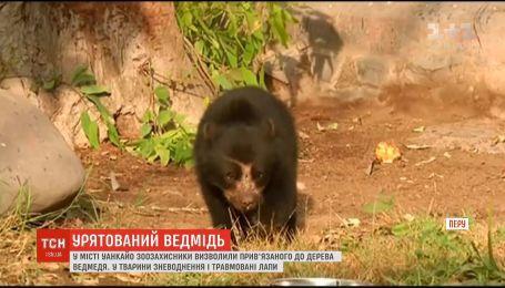 В Перу зоозащитники спасли привязанного к дереву андского медведя